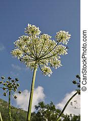 Heracleum sphondylium - Beautiful big hogweed againt blue ...
