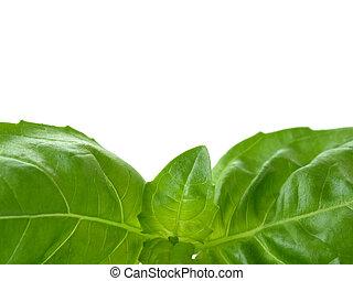 herb - basil leaves - close-up of fresh herbs - green basil...
