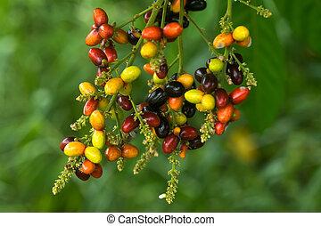 Herb fruit of Lepisanthes rubiginosa tree.