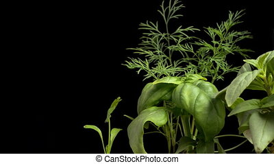Herb Garden Time-lapse - Time-lapse of various herbs...