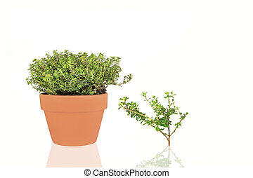 Herb Golden Thyme - Organic golden thyme herb growing in a...