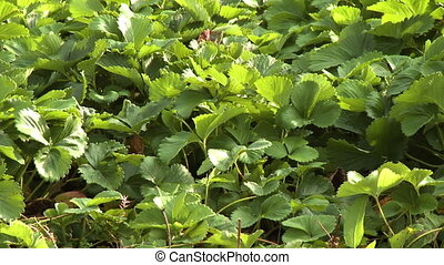 Herb Leaves in Garden - Steady, medium close up shot of herb...