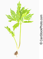 herb lovage isolated