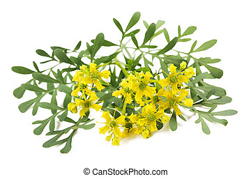 Herb of Grace flowers and leaves isolated on white