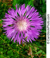 Herb of the family Asteraceae - Centaurea