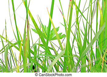 herb on white background