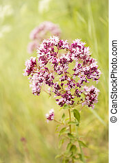 Herb oregano summer blooming colorful background