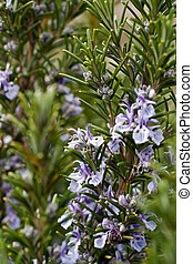 rosemary - herb plant rosemary in natural environment