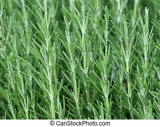 Herb Rosemary Rosmarinus Officinalis - Fresh green leaves of...