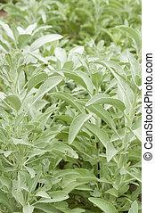 herb white sage