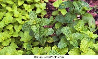 Herbal garden with mint - Herbal garden with growing green...