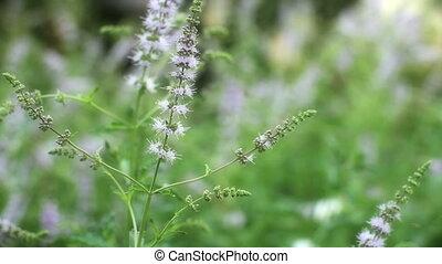 herbal mint