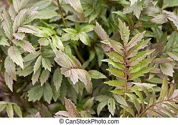 valerian - herbal plant valerian in natural environment