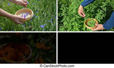 herbal plants collage