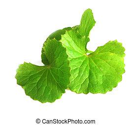 Herbal Thankuni leaves of indian su