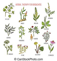 Herbal therapy for bronchitis ivy, ginger, mullein, agrimony, licorice, fenugreek, ginseng, ephedra plantain angelica thyme coltsfoot echinacea Hand drawn botanical vector illustration