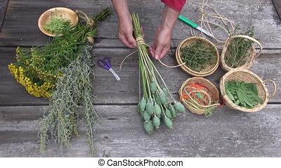 preparing to dry medical herbs - herbalist gardener hands...