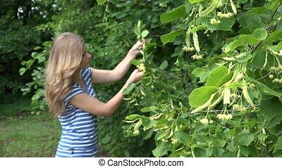 herbalist girl pick linden flowers herbs for herbal medicine. 4K