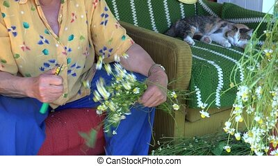 herbalist grandma hands pick chamomile and tabby cat. 4K