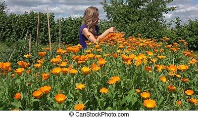 herbalist peasant woman harvest marigold herb bloom in...