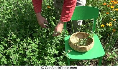 Herbalist picking fresh medical lemon balm mint plants in ...