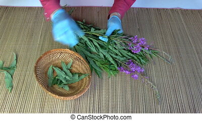 Herbalist picking leaves from fireweed Epilobium angustifolium for tea