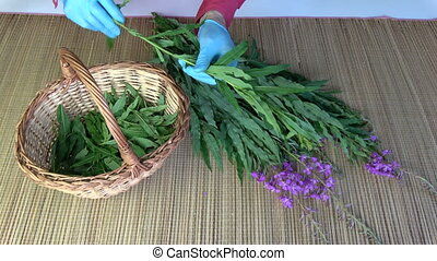 Herbalist picking leaves from medical fireweed ivan-tea...