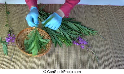 Herbalist picking leaves from medical fireweed ivan-tea...