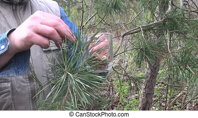 Herbalist picking pine buds in spring - Man picking pine...