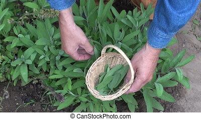 herbalist picking savory leaves - Man gardener herbalist...