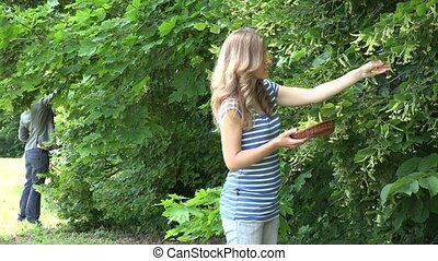 herbalist women pick linden blooms herbs from tree branches in park. 4K