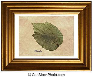 herbarium, clematis