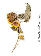 herbarium, girasole, con, asciutto, premuto, piante, bianco