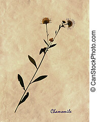 herbarium, matricaria
