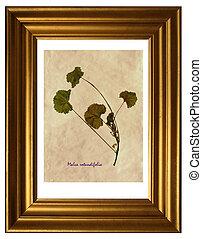 Herbarium of Malva rotundifolia - Herbarium from pressed and...