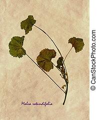 Herbarium of Malva rotundifolia