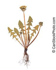 Herbarium of Taraxacumpressed plant isolated on a white ...