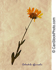 herbarium, officinalis calendula