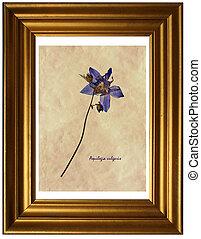 herbarium, vulgaris, aquilegia