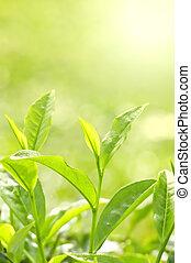 herbata liść