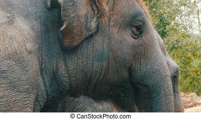 herbe, éléphant, jeune, manger