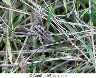 herbe, araignés