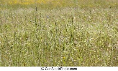 herbe champ, blé, long, intégral