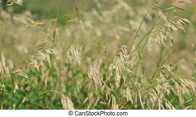 herbe champ