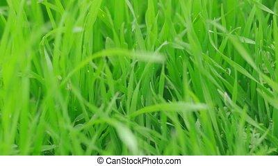 herbe champ, vert, vent