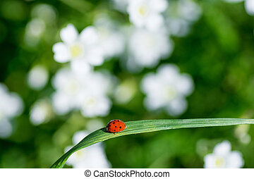 herbe, coccinelles, arrière-plan vert, frais, fleurs blanches