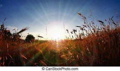 herbe, coucher soleil, classé