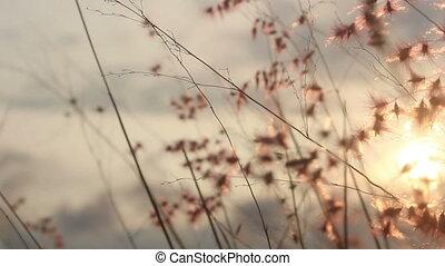herbe, coucher soleil, fleur, fond