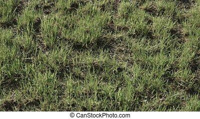 herbe, fauché, pelouse