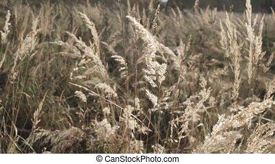herbe, grand, oreilles, sec